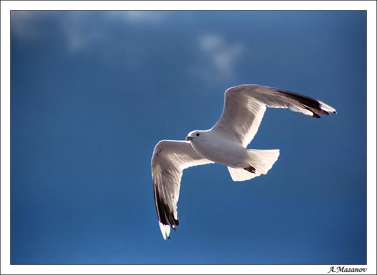 чайка белая на лету